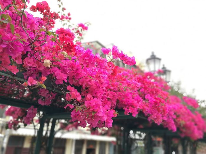 Springtime #02 Pink Color EyeEm Gallery ASIA Wanderlust Wanderer Local Street Views Tourist Attraction  EyeEm EyeEm Best Shots EyeEm Gallery EyeEm Nature Lover On The Street Macau Leica Lens Flowery Springtime Flower Head Flower City Tree Springtime Pink Color Blossom Sky Close-up Architecture Bougainvillea Blooming Botany
