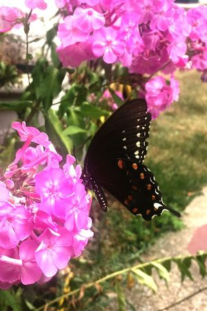 Butterfly on phlox