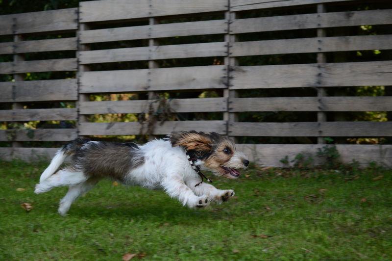 Petit Basset Griffon Vendéen Puppy Love Puppy 15 Weeks Pets Dog Grass