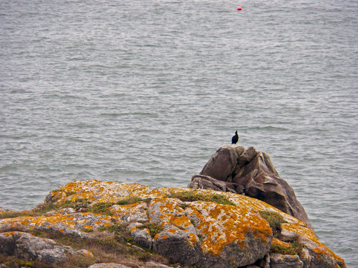Tall cormoran or -- cormorane -- and big rocks with one coastal colored buoy One Cormoran Cormorant  On Rock One Bird Phalacrocorax Carbo Standing Back Of Bird Black Bird In Front Of Ocean Colored Rock Rocks Red Buoy Water Focus On Foreground Avian Fauna Coastal Bird Photography