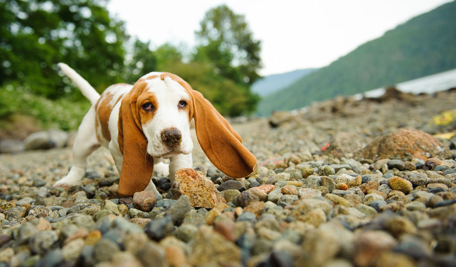 Portrait Of Basset Hound Dog Walking On Stones