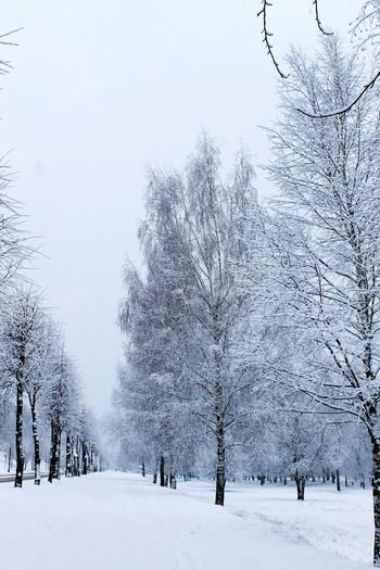 Taking Photos Nature Photography Birch Tree Belarus Trees Winter Snow Photography Road Alley Of Trees