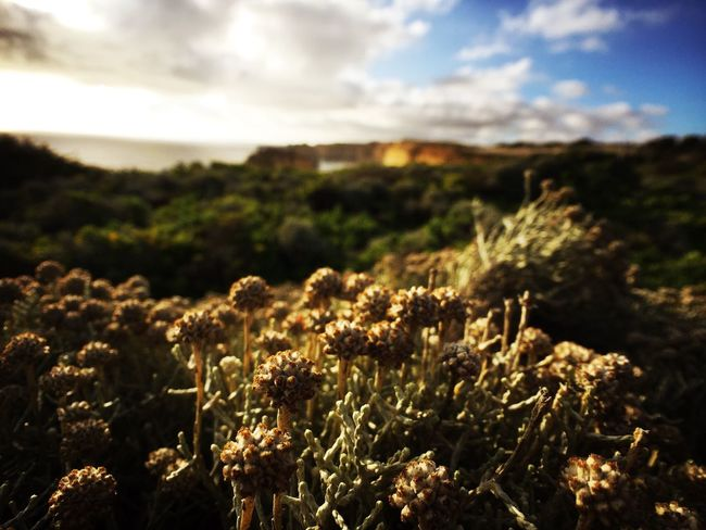 12apostles Wildflowers Victoria Australia IPhoneography Momentwide Sunset Nature Photography Golden Hour EyeEm Best Shots - Nature EyeEm Best Shots - Landscape Landscape With Whitewall Landscapes With WhiteWall