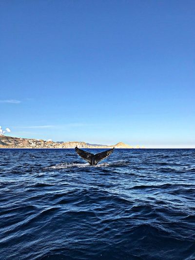 View of whale swimming in sea against clear blue sky