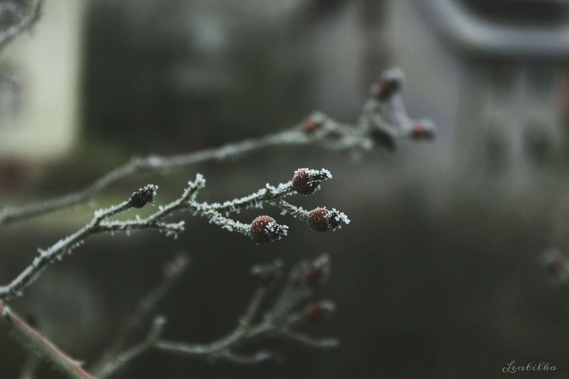 Nature Focus On Foreground Defocused Background Flower Klettgau Cold Temperature Close-up Winter Canonphotography No People Canon Day Beauty In Nature Frozen FrozenFlower Outdoors Lentilka Frost Plant Growth Grey Grey Plant Fruit Frozen Fruit