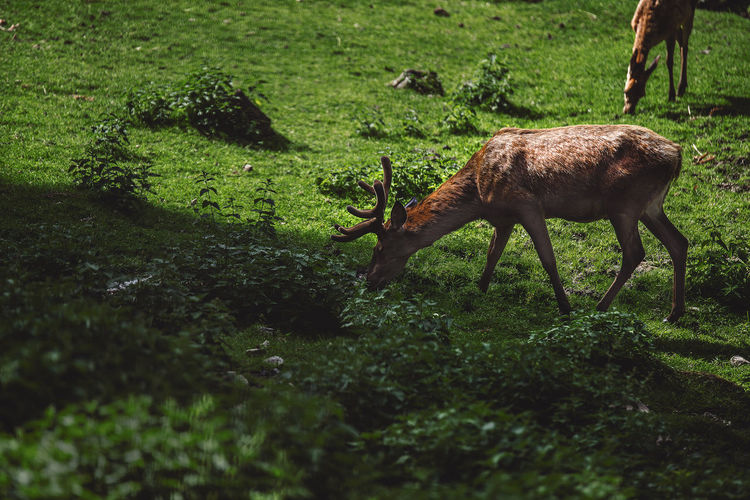 1080x1920 Animal Themes Animal Wildlife Animals In The Wild Day Deer Domestic Animals Field Full Length Grass Grazing Green Color Mammal Nature Nikon Nikonphotography No People One Animal Outdoors Photography Tamron Tamron 70-200mm F/2.8