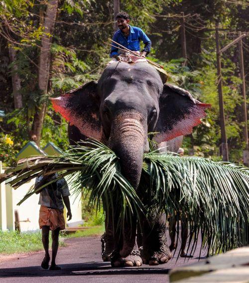 Elephant Animal Love Animal_collection Animallovers India Kerala Nikon Indianelephant