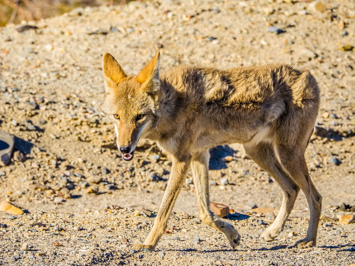 Close-up of coyote on field