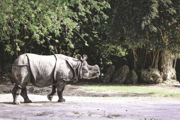 Rhinoceros walking in forest