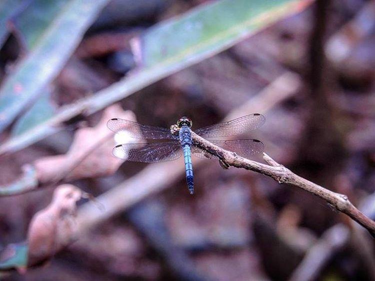 [2016.01.01] Dragonfly Pulauubin Chekjawa Nparksbuzz Singapore Sg Nature Wildlife Dragonfly