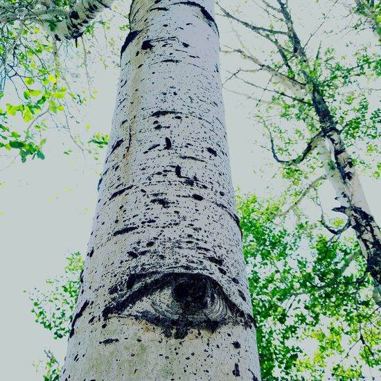 The Aspens are always watching Tree Low Angle View Tree Trunk Day Outdoors Nature Branch Close-up Growth No People Sky