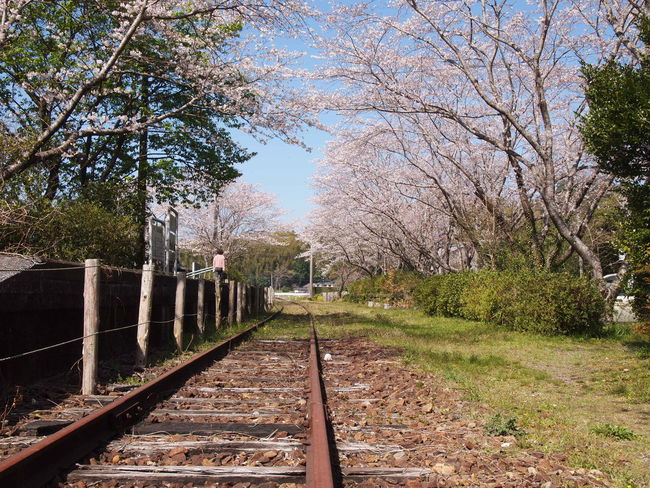 TR rail-line was wasted about 10 years ago. Japa Beauty In Nature Blossom Cherry Tree No People Outdoors Rail Transportation Railroad Track Railway Track The Way Forward Transportation Tree Wasted Ra