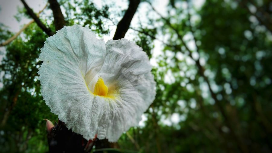 White flower Yogyakarta, Central Java - Indonesia Mangunan Flower Head Flower Petal Close-up Plant Plant Life Blooming