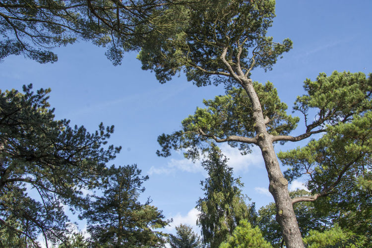 Pine trees in National Botanic Garden of Dublin, Ireland Beauty In Nature Blue Botanic Garden Branch Day Growth Low Angle View Nature No People Outdoors Pine Pine Tree Sky Tree
