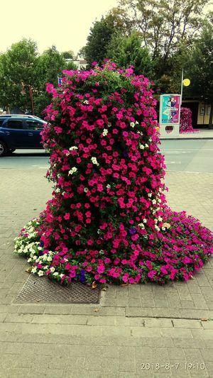 Flower Cosmos Flower Plant Life