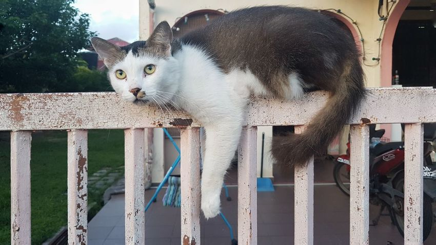 Hanging Out Resting Fence Feline Whiskers Cat Lazy Day One Animal Domestic Cat Animal Themes Domestic Animals Mammal Looking At Camera Portrait