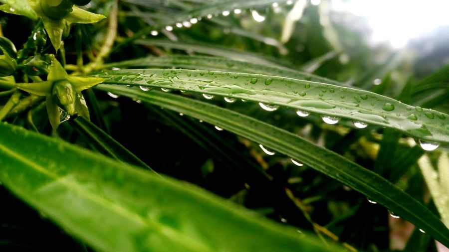 The Week On EyeEm India Leaf Drop Nature Wet Green Color Close-up No People Water Outdoors Plant Day Beauty In Nature Fragility Freshness Droplets Drops_perfection Waterdrops Water On Leaf Rainy Days Petrichor Green Nature Photography Plants And Flowers Monsoon EyeEmNewHere