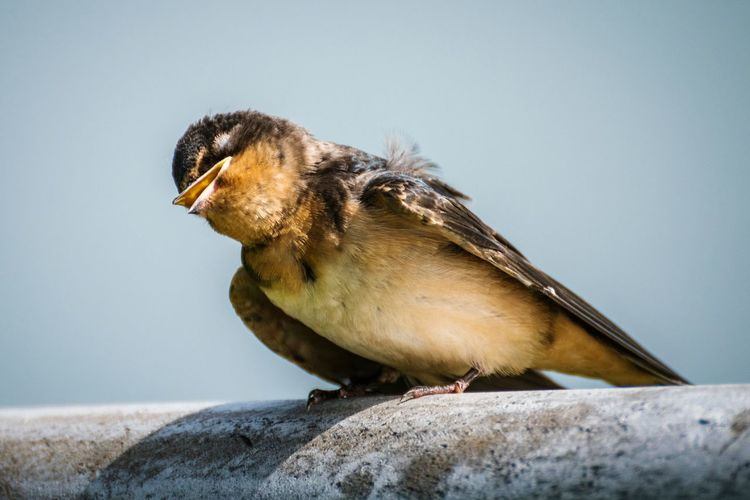 Barn swallow perching on railing against clear sky