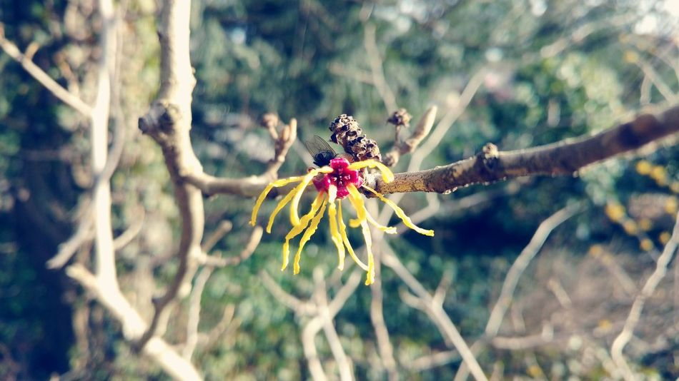 Nature Tree Beauty In Nature Gold Colored Day Close-up Branch No People New Life Winter Spring Blossom Blooming Bloom Bud Fragility Shrubs Yellow Shrub Bushes Bush Witch Hazel Hamamelis Witch Hazel Plant
