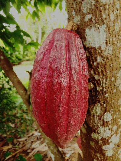 Tree Red No People Nature Close-up Growth Outdoors Day Healthy Eating Food Beauty In Nature Freshness Cacao Vietnam