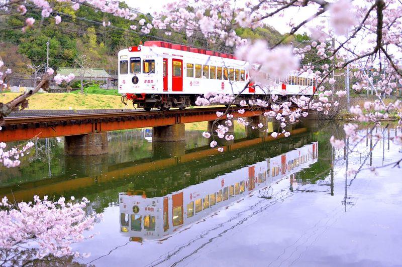 和歌山電鐵 貴志川線 いちご電車 大池遊園 和歌山 桜