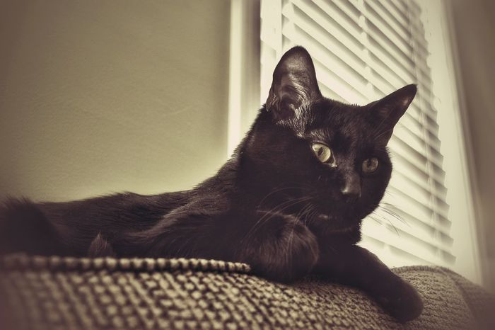Cat Black Black Cat Perched Lazy Lounging From Below On The Lookout Majestic Window Couch Indoors  I ❤ Cat