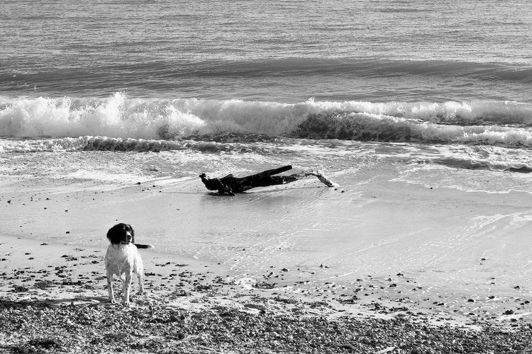 Was It This Stick? Dog's Stick Sticking Out Tongue Beach Beauty In Nature Blackandwhite Dog Land Leisure Activity Lifestyles Nature Sea Water Wave