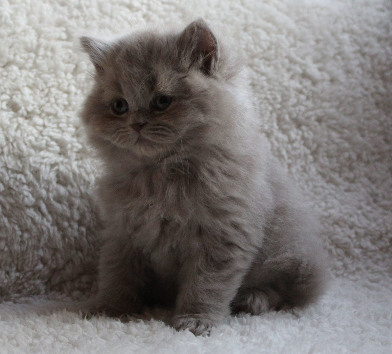 domestic cat, one animal, pets, animal themes, mammal, domestic animals, indoors, feline, no people, animal hair, rug, whisker, home interior, persian cat, sitting, close-up, day