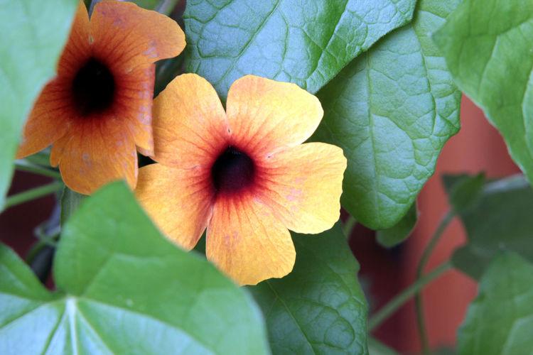 Garten Pflanze Natur Nature Photography Rankpflanze Blumenpracht🌺🍃 Blütenzauber Flower Gelbe Blüten🌾 Schwarzäugige Susanne