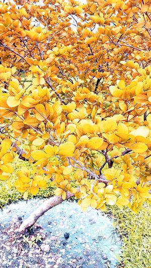 Shrub Tree Colorful Bushes Nature And Color Yellow Tree Tree And Colors Tree Photography Color On Tree Beauty Of Nature Tree_collection  Tree Colors Art On Tree Art Of Color Tree And Colorful Nature Color Leaves Color Leaf Pattern Beautiful Nature Yellow Orange Tone Leaves Photography Creative Color Creative Color On Leaves Beautiful Leaves Beauty Of Leaves