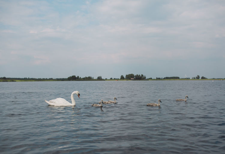 Animal Animal Family Animal Themes Animal Wildlife Animals In The Wild Beauty In Nature Bird Cygnet Day Floating On Water Group Of Animals Lake Mute Swan Nature No People Sky Swan Swimming Vertebrate Water Water Bird Waterfront