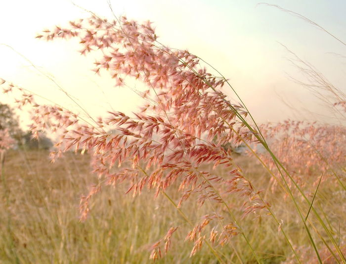 Close-up of reed grass on field
