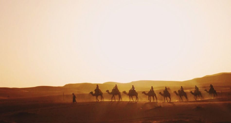 Silhouette tourists riding on camels in sahara desert during sunset