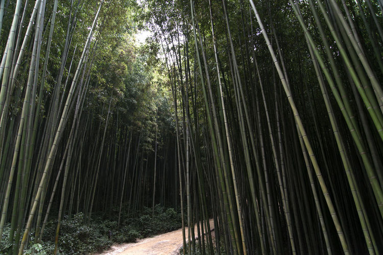 Juknokwon, the famous bamboo park in Damyang, Jeonnam, South Korea Damyang Juknokwon Bamboo - Plant Bamboo Grove Bamboo Park Beauty In Nature Day Forest Growth Nature No People Outdoors Scenics Sky Tranquility Tree