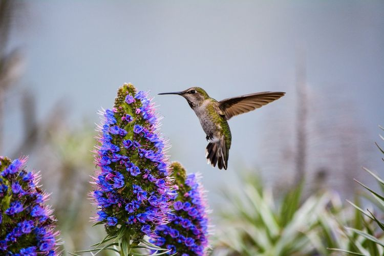 Close-up of hummingbird flying by flower