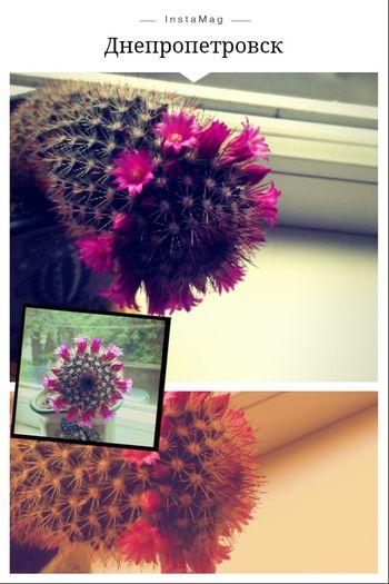 Моя прелесть не перестает меня радовать Flowers Cactus