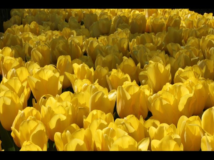 Paint The Town Yellow Tulip Field Yellow Flowers Tulips
