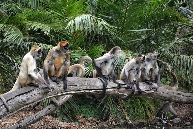 Monkeys by palm trees