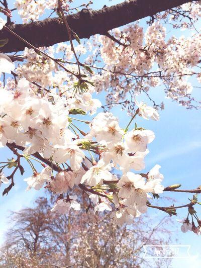 Sakura Japan Beauty In Nature Beautiful Day Lovely Cherry Blossoms Lovethispic Sunny Day