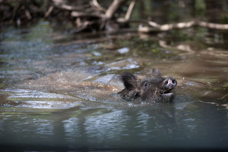 New Orleans Pigs Swimming Trees Animal Animal Themes Animals In The Wild Boar Cute Day Ears Mammal Mud Nature No People One Animal Outdoors Pig River Snout Vertebrate Water Wildboar Woods