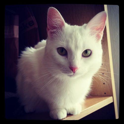 Boncuk Whitecat