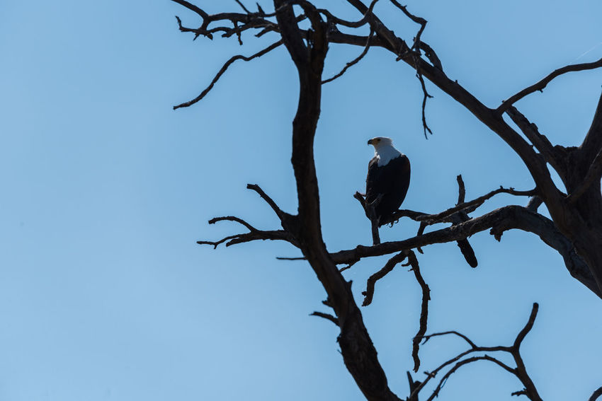African Fish Eagle Bare Tree Beauty In Nature Bird Blue Branch Clear Sky Close-up Day Focus On Foreground Growth Low Angle View Nature No People Outdoors Perching Scenics Sky Tranquility Tree Twig