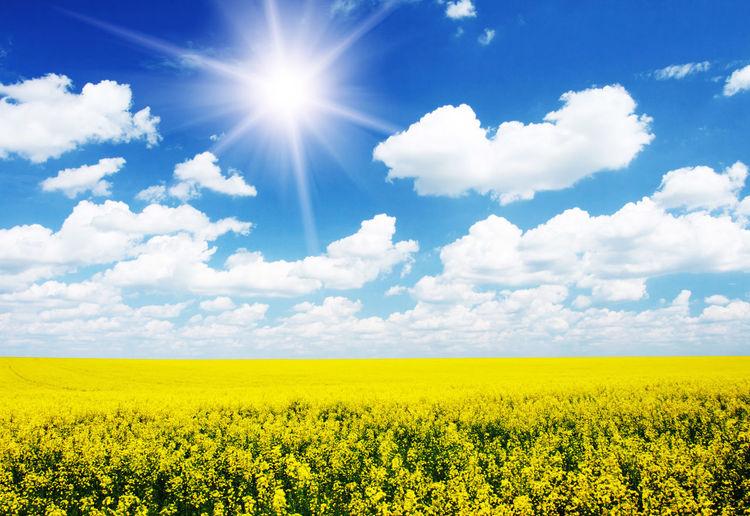 Abundance Agriculture Beauty In Nature Blossom Cloud Cloud - Sky Crop  Cultivated Land Field Flower Fragility Freshness Growth Horizon Over Land Idyllic Landscape Nature Oilseed Rape Plant Rural Scene Scenics Sky Tranquil Scene Tranquility Yellow First Eyeem Photo