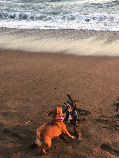 High angle view of dogs fighting at beach