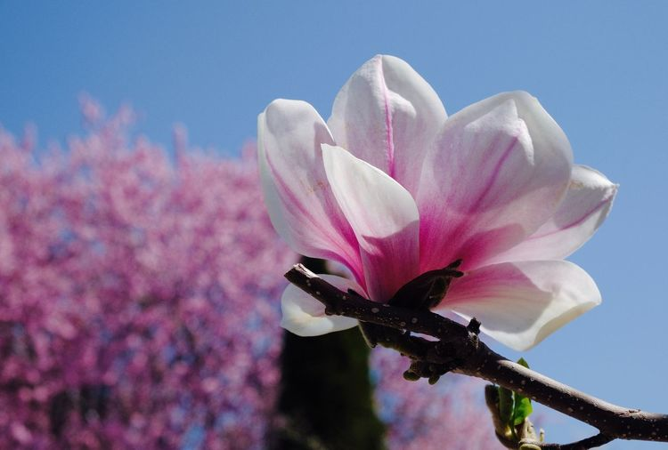 Flowering Plant Magnolia Nature Pink Color Beauty In Nature Flower Close-up Flower Head Outdoors
