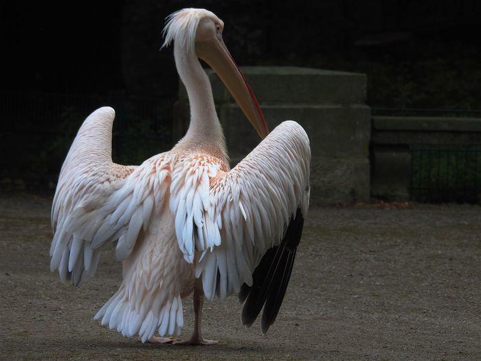 View of pelican