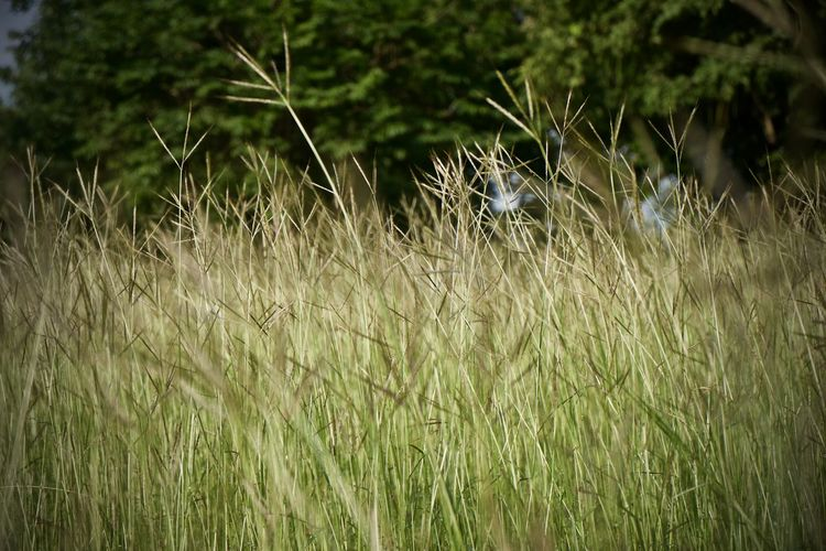 Plant Growth Grass Land Field Nature No People Day Beauty In Nature Tranquility Green Color Outdoors Selective Focus Close-up Focus On Foreground Full Frame Backgrounds Landscape Environment Crop  Timothy Grass