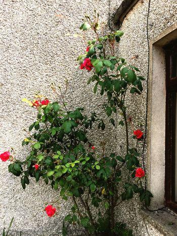 Wallflowers Redroses