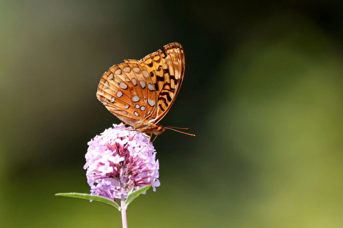 Fritillary Butterfly EyeEm Nature Lover Fritillary Butterfly Animal Themes Animal Wildlife Animals In The Wild Beauty In Nature Butterfly Butterfly - Insect Close-up Day Flower Flower Head Fragility Freshness Growth Insect Nature No People One Animal Outdoors Plant Pollination Spread Wings