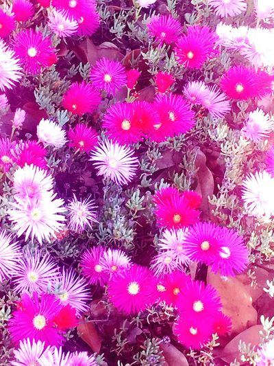 Purple flowers pink flowers. Spring Flower Petal Fragility Freshness Beauty In Nature Nature Flower Head Growth Abundance Purple Pink Color Full Frame Backgrounds Blooming No People Plant Day Outdoors Close-up spring
